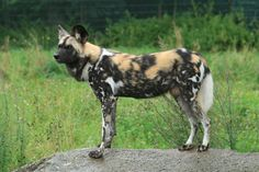 simbania.files.wordpress.com 2014 02 afcrican_wild_dog_stock_by_neverfading_stock.jpg