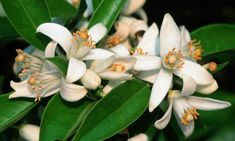 More Orange blossoms, they represent purity and are traditional in most spanish weddings
