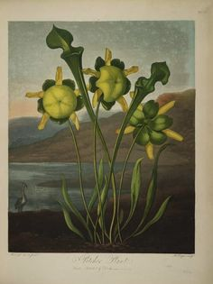Plates from Robert Thornton's Temple of Flora (1807) – The Public Domain Review