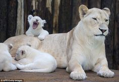 Adorable: One young cub lets out a large yawn as the family chills out at their zoo in east Germany