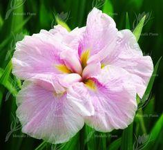 Iris ensata Frosted Pink