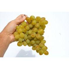 VOSTORG rezistentný stolový vinič