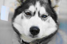 Husky, Dogs, Animals, Animaux, Doggies, Animal, Animales, Husky Dog, Pet Dogs