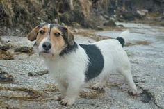 Little Snoop is looking for a home. Hes a wise looking fella but is only 8 months old! Old Head, 8 Month Olds, 8 Months, Rescue Dogs, Corgi, Puppies, Photos, Animals, Corgis