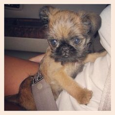 My baby Rory (a Brussels Griffon) when she was just a wee pup!