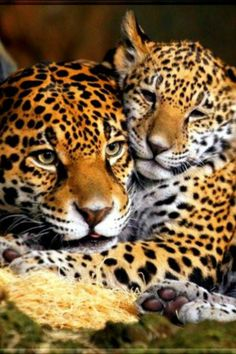 Kittens And Puppies, Cats And Kittens, Beautiful Cats, Animals Beautiful, Cute Baby Animals, Animals And Pets, Big Cats, Cute Cats, Mon Zoo