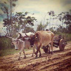 El carretero tiene un querer y a su querencia sabe volver... #bolivia #trinidad #beni #animals #Padgram