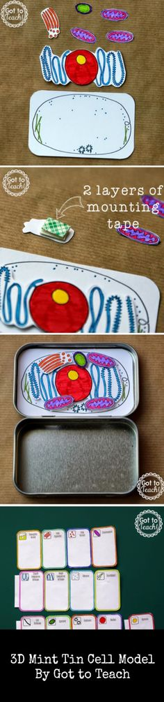 Mint Tin Cell Model Images showing the steps to make a Mint Tin Cell Model 3d Cell Model, Cell Model Project, Plant Cell Model, Science Lesson Plans, Science Lessons, Teaching Science, Science Education, Creative Teaching, Science Cells