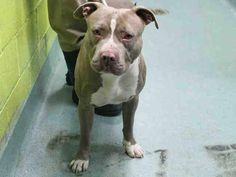 SAFE --- Brooklyn Center   STEWIE - A1023068   MALE, TAN / WHITE, AMER BULLDOG, 2 yrs STRAY - STRAY WAIT, NO HOLD Reason STRAY  Intake condition EXAM REQ Intake Date 12/13/2014, From NY 11434, DueOut Date 12/16/2014,  https://www.facebook.com/Urgentdeathrowdogs/photos/pb.152876678058553.-2207520000.1418592979./921266627886217/?type=3&theater