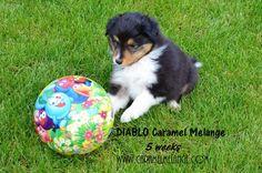 owczarek szetlandzki sheltie Shetland Sheepdog Sheltie puppies rodowodowe www.caramelmelange.com