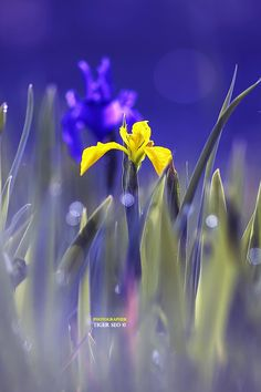 Yellow by Tiger Seo on 500px,Iris