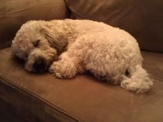 Sweetly sleeping wheaten terrier - Maggie Mae Magoo