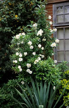 Carpenteria californica. Evergreen scandent shrub, 2m x 2m more if trained against a wall.  Mildly scented flowers produced June - July. Hardy to -5c.