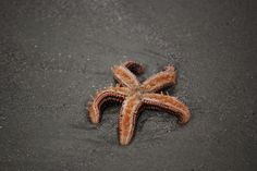 Star Fish on the beach this morning on St. Simons Island.    http://kingandprince.com    http://roadtrekin.com    http://befirstinc.com