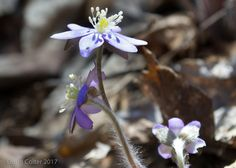 Sharp-lobed Hepatica (Hepatica acutiloba) • Family: Buttercup (Ranunculaceae) • Habitat: rocky woods • Height: 4-6 inches • Flower size: 3/4 inch across • Flower color: white, blue, or pink • Flowering time: March to May • Photo by Doug Colter