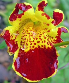 Red and Yellow Mimulus