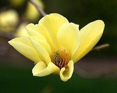 Yellow Magnolia (5 Seeds)