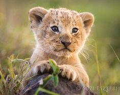 Baby Animals Super Cute, Cute Animals, Baby Animal Nursery, Nursery Art, Nursery Decor, Lion Nursery, Lion Cub Tattoo, Baby Lion Cubs, Baby Lions