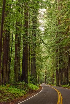 Avenue of the Giants - Redwoods in Northern California. I love this part of Cali. The most amazing State.