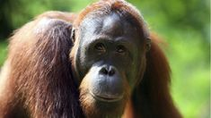 A study by Durham University shows Rocky the orangutan gives clues about the origin of human speech Primates, Orangutan Indonesia, Convention On Biological Diversity, Sumatran Orangutan, Melbourne Zoo, Wildlife Day, Philadelphia Zoo, Amur Leopard, Vertebrates