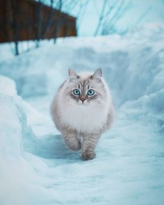 """- Cats Make You Smile """"A Winter Walk"""" (""""The Beauty with the icy-blue eyes"""") ? Cats Make You Smile - Johnny Barwick - Cute Cats And Kittens, I Love Cats, Crazy Cats, Kittens Cutest, Pretty Cats, Beautiful Cats, Animals Beautiful, Cute Funny Animals, Cute Baby Animals"""