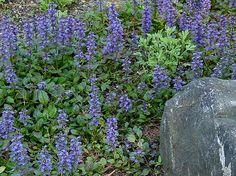 Ajuga Google Image Result for http://wiseacre-gardens.com/plants/perennial/bugleweed2.jpg