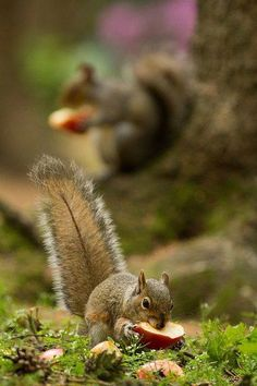 #Squirrels eating apple fruit bits
