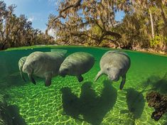 Manatees swim close to the water's surface because they are air-breathing mammals. They use their stiff facial bristles to guide food into their mouths.