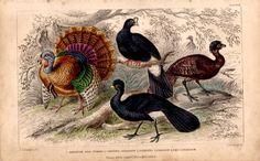 Rare Antique Fowl Turkey Bird Species by TheLotAntiquesandArt