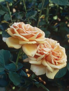 Valencia Rose Hybrid Tea is vigorous and unusually healthy with long stems for cutting. Strong Sweet scent.