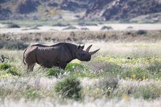 We saw four rhinos in two separate sightings on a recent mobile safari in a very green north-western Namibia. You wouldn't say this was Damaraland with all the greenery after the most welcome recent rains! North Western, Rhinos, Tour Operator, Tanzania, Wilderness, Separate, Greenery, Safari, Tours