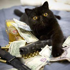 Rich Gangster Cats Flexing Their Wealth All You Need Is, Selkirk Rex, Cornish Rex, Devon Rex, Quick Cash, Scottish Fold, Crazy Cats, Spirit Animal, Pets