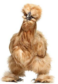 pollo sedoso
