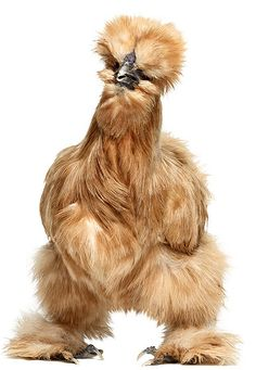 Silky chicken