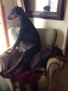 I can already see it...This is what my female Doberman is going to do to my male Doberman. lol. So cute!: Doberman Love, Doberman Dogs, Classic Doberman, Doberman Pinchers, Doberman Domination, Doberman Breed, Doberman S, Doberman Funny
