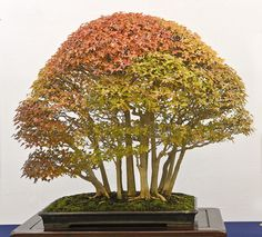 grouped maples bonsai