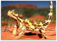 Thorny devil. I would love to own one. But they only eat a specific type of ant.