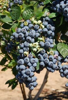 Buy Blueberry plants online from Raintree Nursery. We sell top quality Blueberry plants with over 30 varieties. We have a huge selection of blueberries plants for sale. Get your tree now and save an extra discount. Blueberry Plants For Sale, Blueberry Varieties, Blueberry Picking, Raintree Nursery, Highbush Blueberry, Garden Express, Perfect Plants, Plants Online, Best Fruits