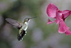 1D RGB 9157 Hummingbird 10