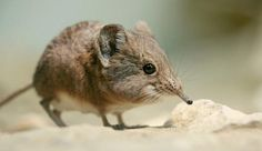 Elephant shrew on a sandy rock. The 17 species of elephant shrew are found all across the southern half of Africa, but aren't common in any one place. Animals Of The World, Animals And Pets, Cute Animals, Bizarre Animals, Elephant Trunk, Baby Elephant, Cute Creatures, Magical Creatures, Elephant Shrew