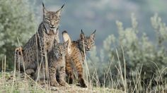 Female lynx with cubs (July 2015)  |  Iberian lynx returns to Spain from verge of extinction.