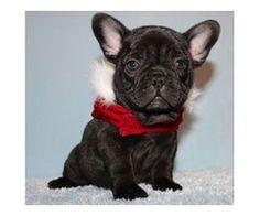 Choco Blue French Bulldog Puppy For Adoption Blue French