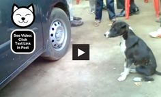 This dog loves its own reflection!  http://dogvideooftheweek.com/videos/view/4274  #DVOTW