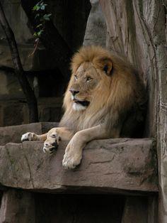 Lion @ Brookfield Zoo (Brookfield, IL) » 2004/06/12