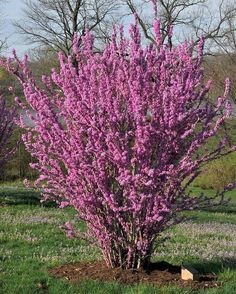 Chinese Redbud Cercis Chinensis Tree or Shrub, Pink or White flower in April, Full sun Low-med water Garden Trees, Plants, Magenta Flowers, Chinese Plants, Shrubs, Deciduous Trees, Landscaping Plants, Flowering Trees, Redbud Tree