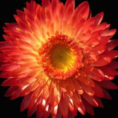 Strawflower Scarlet Choice Double in fiery red shades - Annual Flower Seeds