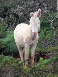A wild white donkey on the island of Asinara, Italy. The donkey is an albino variant of the more common Sardinian donkey.