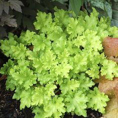 Lime Marmalade Coral Bells (Heuchera Lime Marmalade) - 2 on left side if garage by fence