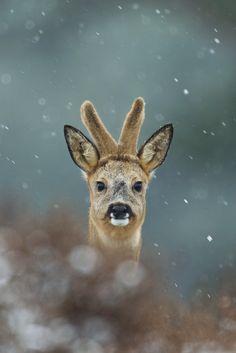 Winter deer by René Visser