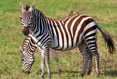A zebra is an African equid with a distinctive striped coat. The stripes of a zebra serve several functions. Zebra Drawing, Plains Zebra, African Cichlids, Horse Girl, Travel Design, Wild Ones, Zebras, Lions, Animal Pictures